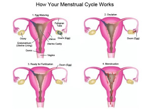 menstrual-cycle-works